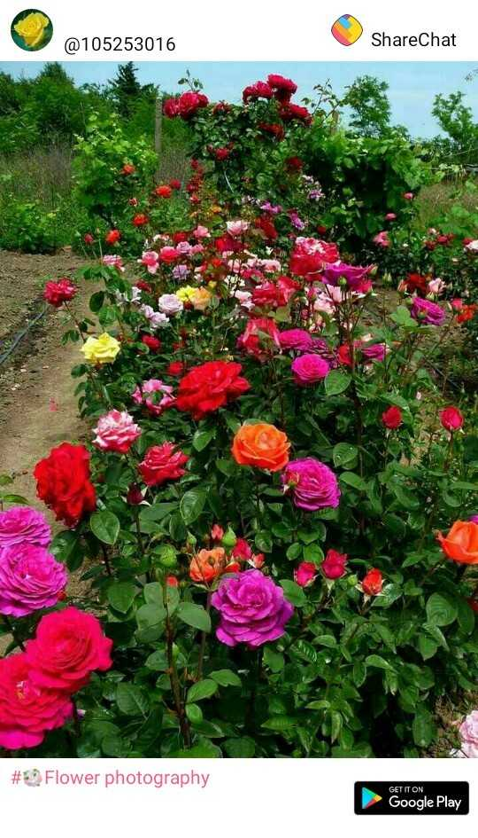 भजन - @ 105253016 ShareChat # Flower photography GET IT ON Google Play - ShareChat