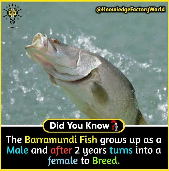 फैक्टस एव जानकारी - @ KnowledgeFactory World 22 . 99 Did You Know The Barramundi Fish grows up as a Male and after 2 years turns into a female to Breed . - ShareChat
