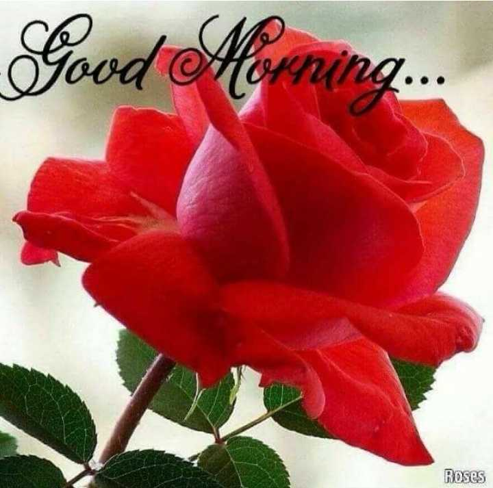 সুপ্রভাত - Good Morning . . . Roses - ShareChat
