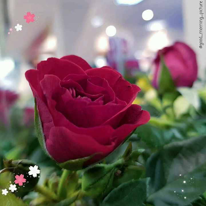beautiful rose🌹 - @ good _ morning - picture - ShareChat