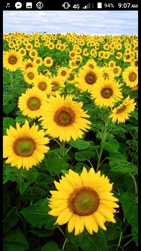 🌻Flowers - 4G 94 % 9 : 07 AM - ShareChat