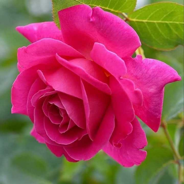 🌹 flower photography - ShareChat