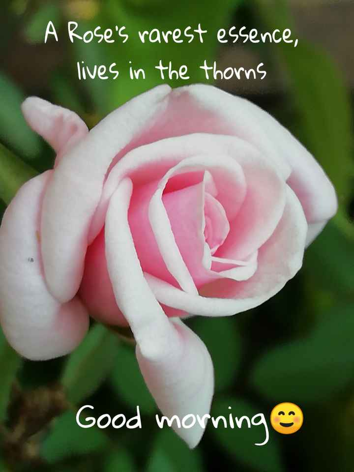 gd mng - LA Rose ' s rarest essence , lives in the thorns Good morning - ShareChat