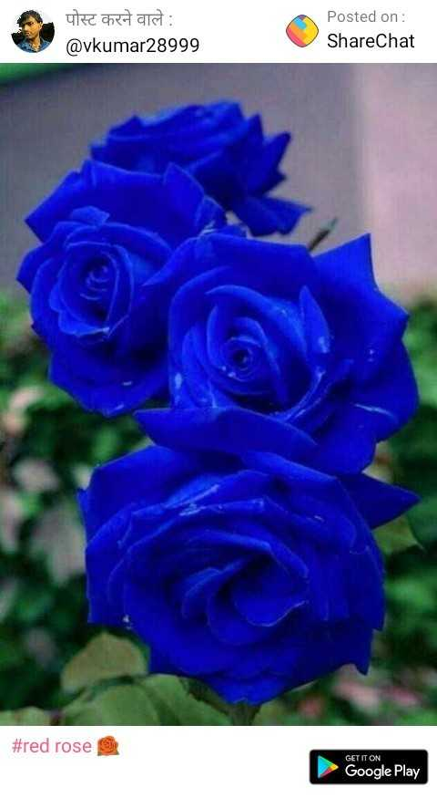 red rose 🌹 - पोस्ट करने वाले : @ vkumar28999 Posted on : ShareChat # red rose GET IT ON Google Play - ShareChat